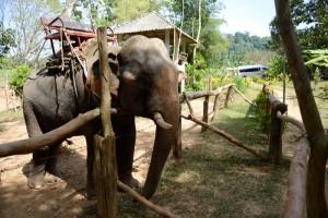 elefant thailanda